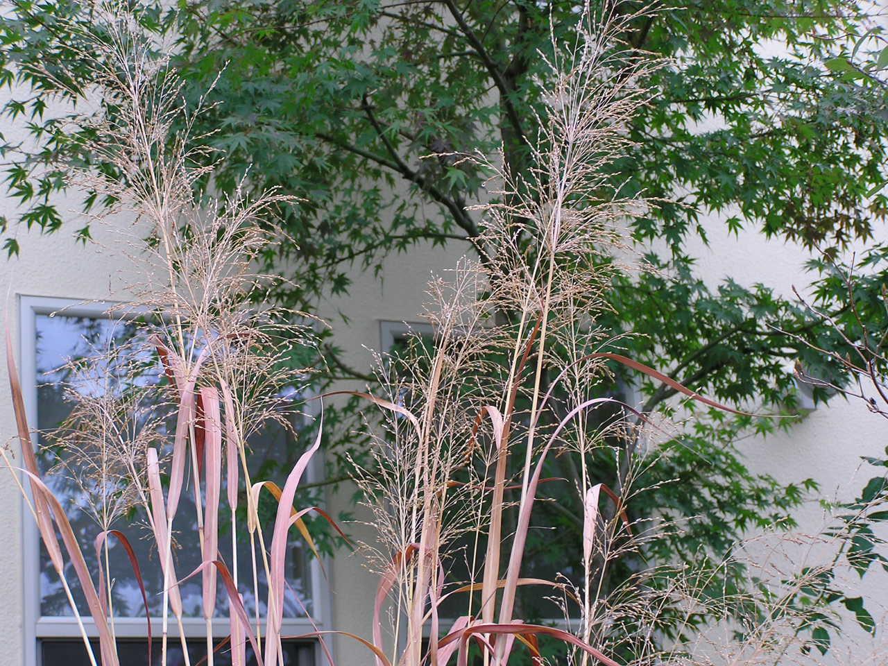 おすすめの植物 | グラス